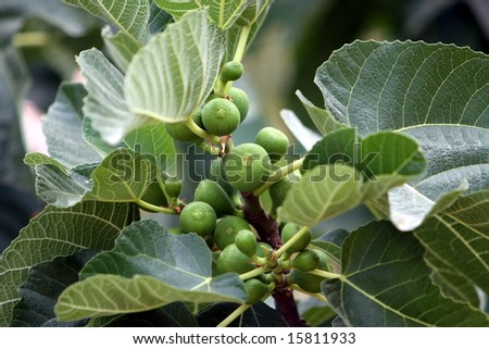 Baby Figs on a Branch