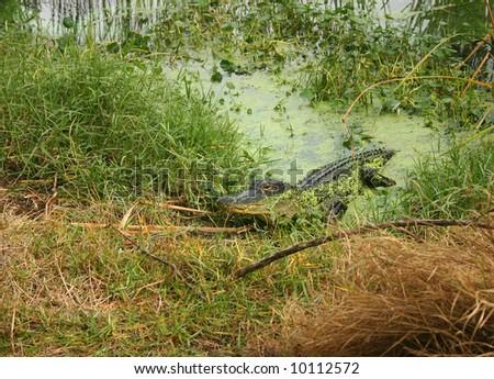 Baby Florida Alligator