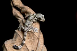 Baby Flying gecko on dry leaves, flying gecko camouflage on dry leaves with black background