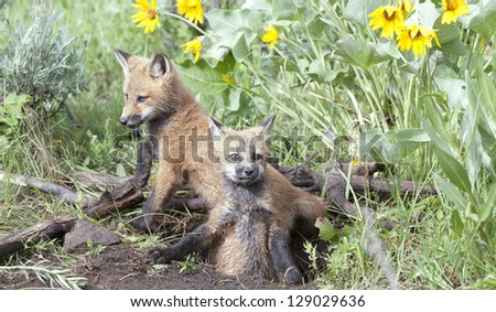 Baby foxes at their den. Montana