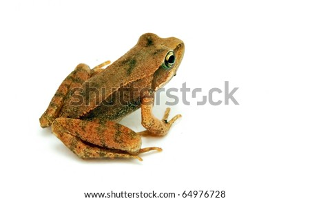 Baby frog on white background