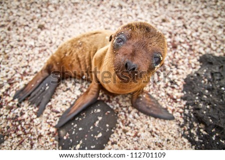 Baby Galapagos sea lion looking at the camera - stock photo