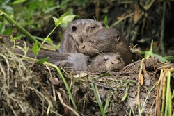 Baby giant-river otters resting on a river bank
