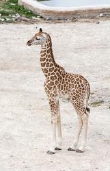 Baby giraffe. Rothschild's giraffe (Giraffa camelopardalis rothschildi).