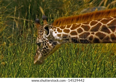 Baby Giraffe Searching Through the Grass for Food