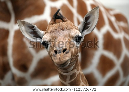 Baby giraffe with mother #1125926792
