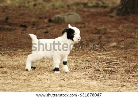 Baby Goat #631878047
