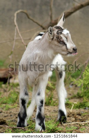 Baby Goat in Barnyard