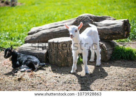 Baby Goat on the Farm
