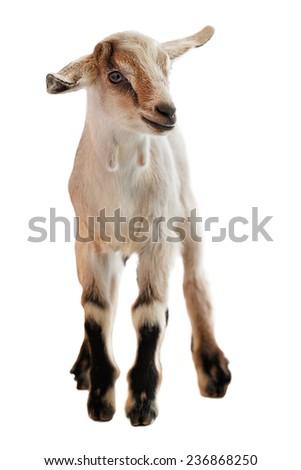 Baby goat on the white background stock photo