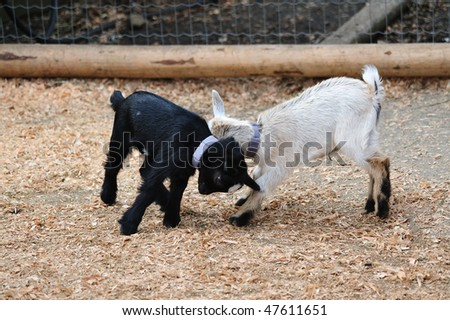 Baby Goat Playing In Farm Stock Photo 47611651 : Shutterstock