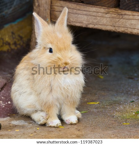 Baby gold rabbit