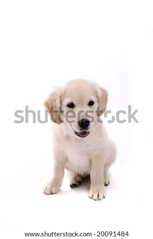 Baby Golden Retriever Portrait - Isolated over white background