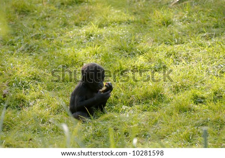 Baby gorilla eating a piece of fruit