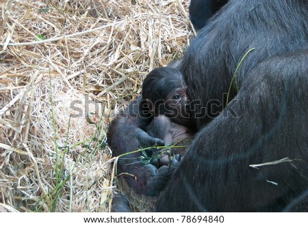 Baby gorilla held by its mother
