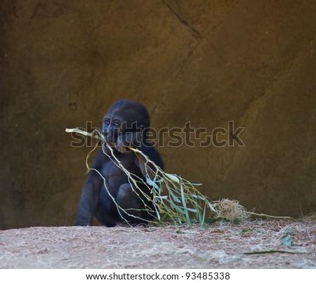Baby Gorilla in captivity at a zoo
