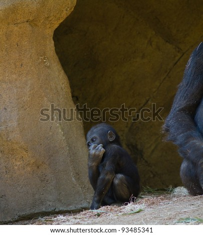Baby Gorilla in captivity at a zoo