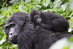 Baby gorilla laying on mum's back in Bwindi Impenetrable Forest