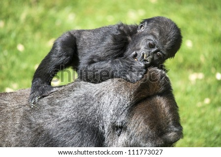 baby gorilla riding on it's mother's back/Gorilla Baby