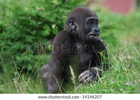baby gorilla sitting in grass