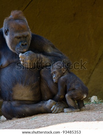 Baby Gorilla with his mother in captivity at a zoo