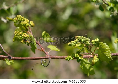 Baby Grapes VII - Shallow depth of field study of grapevines with baby grapes and flowers of a tree which supports the vines