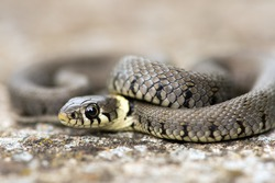 Baby Grass Snake coiled on grey mossy flagstone/Baby Grass Snake/Grass Snake (natrix natrix)
