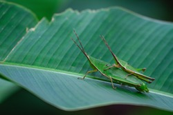 Baby grasshopper sits on its mother's back in the nature habitat using as a background or wallpaper.