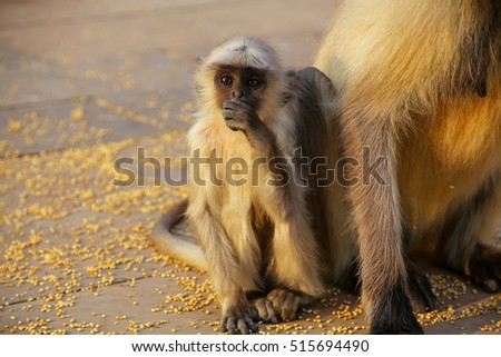 Baby gray langur sitting by mother in Amber Fort, Jaipur, Rajasthan, India. Gray langurs are the most widespread langurs of South Asia. #515694490
