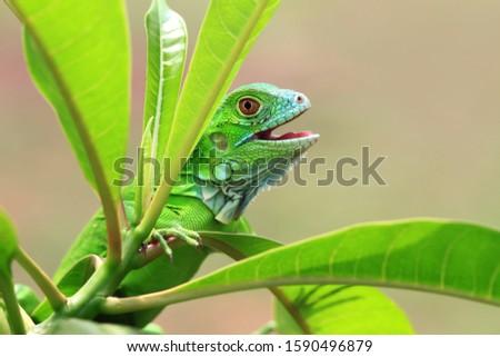 Baby green Iguana on branch, animal closeup, reptile closeup