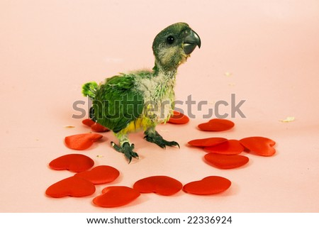 baby green parrot between hearts