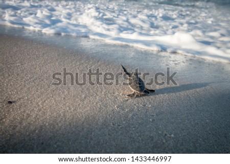 Baby Green sea turtle on the beach on the Swahili coast, Tanzania.