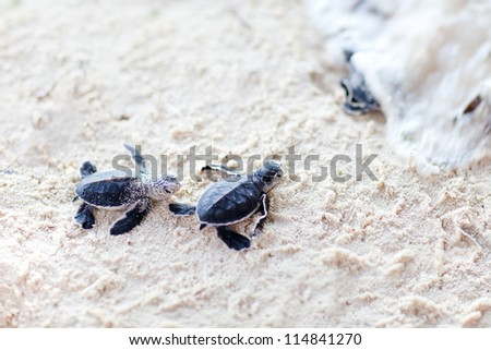 Baby green turtles moving towards the ocean