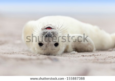 stock photo baby grey seal halichoerus grypus relaxing headlong on the beach 155887388 - Каталог — Фотообои «Животные»