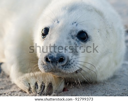 Baby Grey Seal (Halichoerus grypus) Relaxing on the Beach