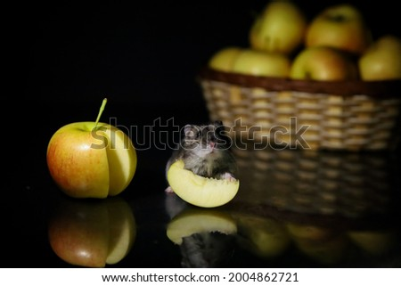 Baby hamster with a piace of apple Stock fotó ©