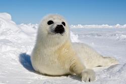 Baby Harp Seal Magdalen Islands