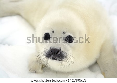 baby harp seal pup on ice of...
