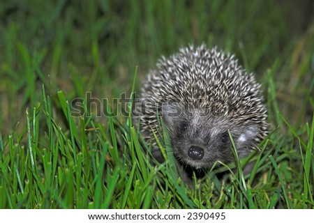 Baby hedgehog smiling at you. Surrounded by green grass.