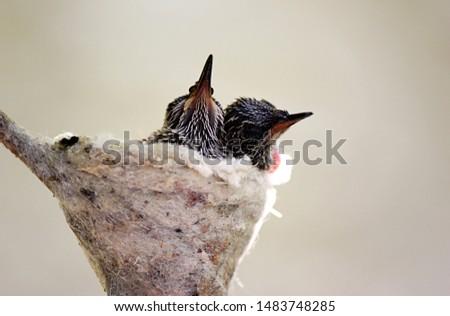 Baby hummingbirds in a soft spiderweb nest