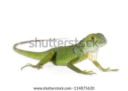 Baby iguana isolated on white background.