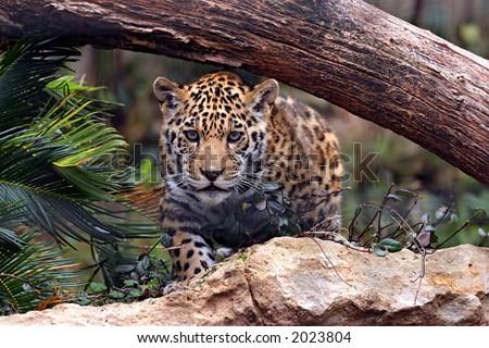 baby jaguar animal pictures. stock photo : Baby Jaguar