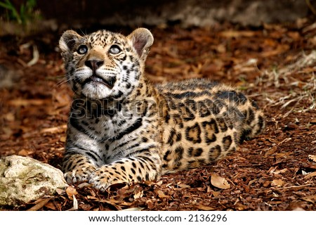 baby jaguar animal pictures. stock photo : Baby Jaguar