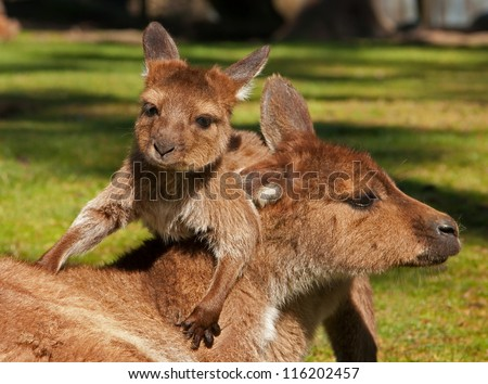 baby kangaroojoey playing with its mother stock photo