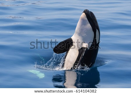 Baby killer whale playing in blue lagoon - Baby Orcinus Orca