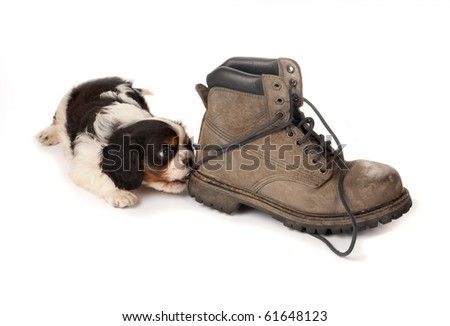 Baby king charles spaniel playing with an old boot