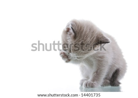 Baby kitten grooming. Studio shot. Isolated on white background.
