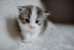 Baby Kitten Young Fresh German Longhair Babys