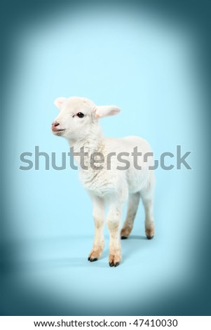Baby lamb on a vignetted blue background.