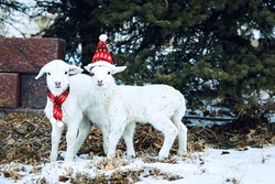 Baby Lamb Twins with Hat and Scarf